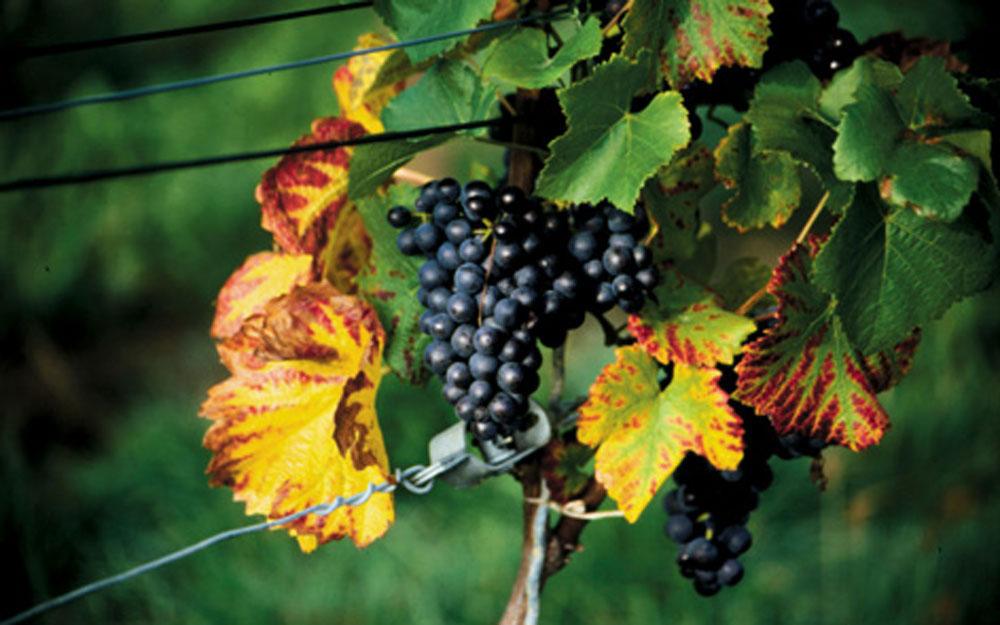 Weinregion Kaiserstuhl